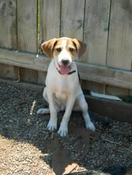 Leo is an adoptable Beagle Dog in Muncie, IN. ARF's adoption hours are Tues, Wed, and Thur 1-5pm & Sat Noon-3pm. We can hold animals for out-of-town visitors with an approved application, so if you ar...