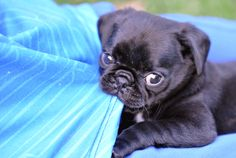 Pug! | 7 Dogs That Will Distract You From Your Inevitable Death