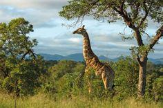 Südafrika - Reisen - Giraffe