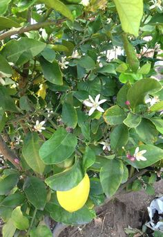Flowers from our lemon tree