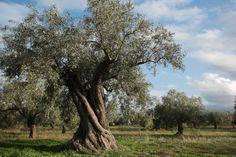 The olive tree is an evergreen tree, native to the Mediterranean basin. It lives over 100 years.