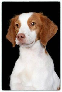 """Brittany Spaniel Cutting Board by Canine Designs. $29.95. Size: 8"""" x 11"""". Made of tempered glass making it virtually unbreakable.. Heat resistant.. Scratch Resistant - imprinted on back. Hygenic and easy to clean.. Our beautiful, dog breed cutting boards will enhance any kitchen. They make great gifts, are made of tempered glass and measure 9"""" x 12"""". They are heat resistant, scratch resistant, virtually unbreakable, easily cleaned and dishwasher safe."""
