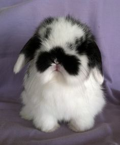 Holland lop...these make the best and sweetest little pets. Look at that kissable little face!