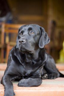 This looks so much like my sweet black lab Coal. He is so loyal to his family and is always just waiting to please someone. Gotta love labradors.