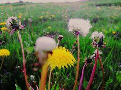 #dandelion #meadow