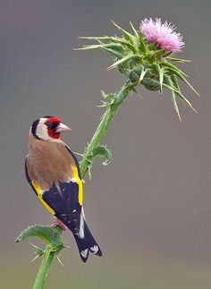 Goldfinch. by yaki zander on 500px