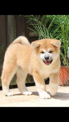 Japanese Akita Inu Puppy .