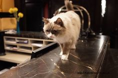 In the first part of our post, you got to see the beauty and elegance of the Algonquin hotel, now it's time to meet the current incarnation of the Algonquin cat; Matilda. Of course, as with a…