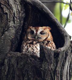 (KO)  An owl.......incognito.