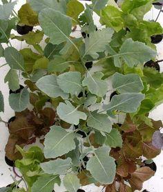 Kohlrabi und Blattsalat