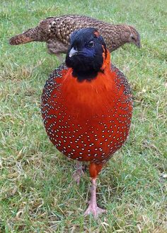 pair Satyr Tragopan Pheasants Peacock Pictures, Bird Pictures, Animal Pictures, Exotic Birds, Colorful Birds, Exotic Pets, Pretty Birds, Beautiful Birds, Animals Beautiful