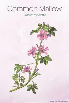 Common Mallow - Medicinal Herb #L4L #tagforlikes #F4F #vitaminC #vitaminD