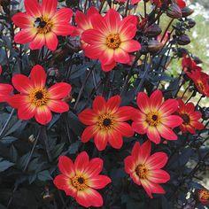 Dahlia Happy Flame (5 Premium Plants)