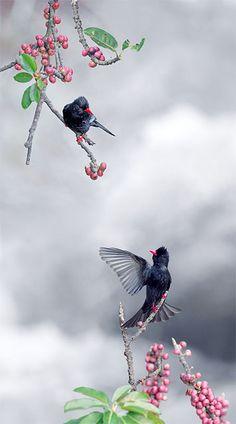 #919 黑鵯榕配 | Flickr - Photo Sharing!  I don't know the species, but the photo is outstanding.