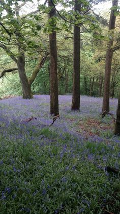 Hardcastle Craggs carpeted with bluebells in the spring
