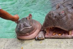 "Baby hippo (makes me think of ""i want a hippopotamus for christmas"") Cute Funny Animals, Cute Baby Animals, Animals And Pets, Wild Animals, Stuffed Animals, Cute Hippo, Baby Hippo, Fiona The Hippo, Pets"