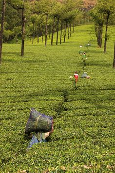 Picking Tea in one of Munnars Tea Estates, India