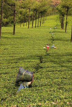 Picking #Tea in one of Munnar's Tea #Estates, #India.  tafe.com | tafecafe.org  #Cultivating the World!