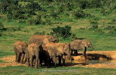 Photos and pictures of: Elephants drinking, Loxodonta africana africana, Addo Elephant National Park, South Africa - The Africa Image Library Elephants, South Africa, Drinking, National Parks, Gallery, Pictures, African Bush Elephant, Tights, Photos