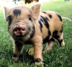 a baby pig!