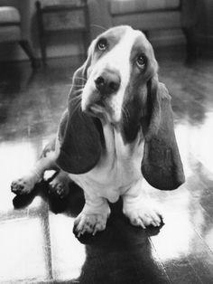 #Basset #dog