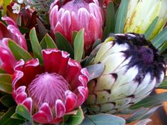 South Africa's national flower!!!! Repinned by www.loisjoyhofmann.com Love proteas! Protea Flower, Flora Flowers, Flowers Nature, Beautiful Flowers, Australian Wildflowers, Covered Garden, Desert Plants, Trees To Plant, Flower Art