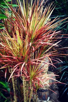 Cordylena Ruby Dracena Tropical Titillation