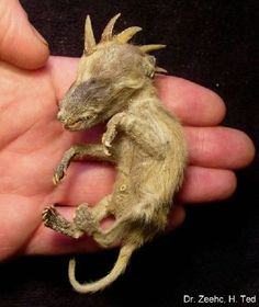 A small creature that possibly taken from a barn in Mexico.  They took a series of DNA tests but the results were inconclusive.