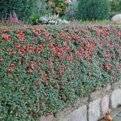 Cotoneaster dammeri 'Skogholm' (= C. x suecicus 'Skogholm') - panešplja, švedska prizemljika - Listnate - Drevesnica Omorika d.o.o. Front Gardens, Driveways, Trees And Shrubs, Botany, Plants, Collection, Garden, Santo Domingo, Landscaping