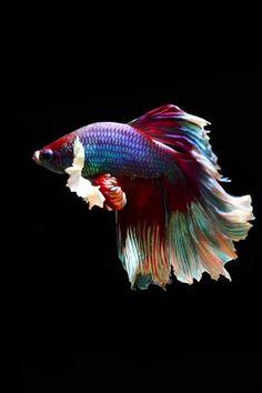 Betta Fish Types, Betta Fish Tank, Beta Fish, Pretty Fish, Cool Fish, Beautiful Fish, Beautiful Pictures, Beautiful Sea Creatures, Animals Beautiful