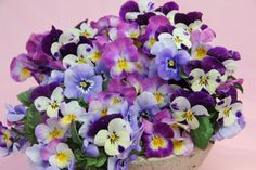 Oh my I love pansies - they often have PURPLE petals