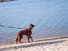 Irish Setter on lake Michigan
