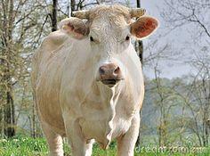 Charolais cow face by Boulanger Sandrine, via Dreamstime
