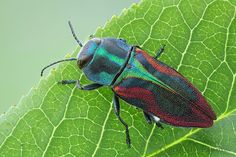 Anthaxia candens (Coleoptera, Buprestidae