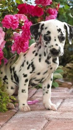 Few things are cuter than the adorable spots on a dalmatian.