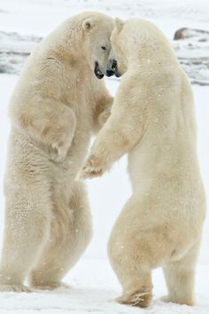 Headbangers by Valerie, polar bears