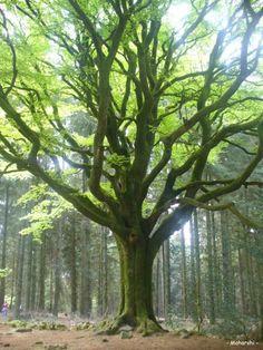 Un arbre magnifique, situé près de la Fontaine de Barenton [1]. Dur à trouver, mais à l'arrivée quel spectacle, si grand, si vénérable. Majestueux ! Plus de 300 ans qu'il se tient fière…