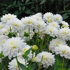 Dahlia 'Karma Maarten Zwaan' - Rose Cottage Plants
