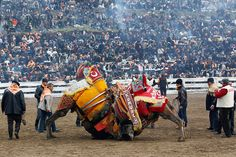 Strange is not a word : the most bizarre festivals around the global village CAMEL WRESTLING , SELCUK , TURKEY