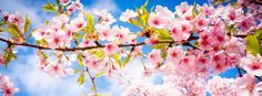 facebook cover cherry blossom - Google Search