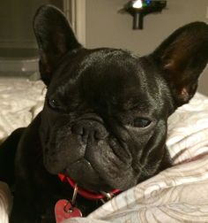 Woof, I was told to chill out! #dogs #pets #FrenchBulldogs Facebook.com/sodoggonefunny