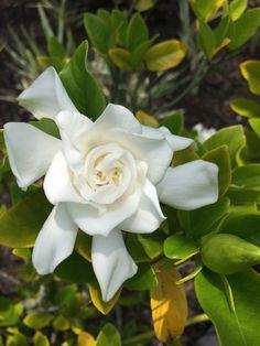 Some fragrant white