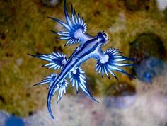 The glaucus Atlanticus is a sea slug that spends its days floating upside down in the water (like in the photo below) feeding on prey like the Portuguese man-o-war. The little sea slug can absorb the stings of the tentacles and store the toxins to use for its own protection (which is why you should be careful about picking up them).