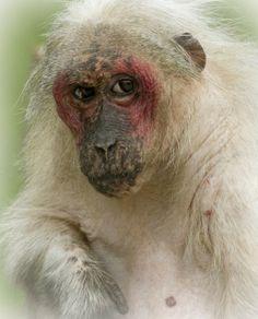 Stump Tailed Macaque - Monkey World - Dorset | Flickr - Photo Sharing!
