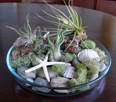 terrarium « tropical appeal. Shells, moss large river rocks and air plants