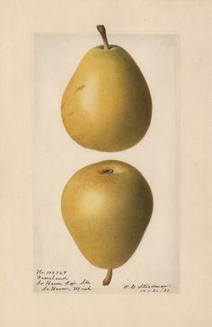 Groveland Pear.