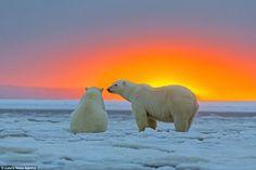 Потрясающие кадры - белые медведи на фоне Арктического заката - Путешествуем вместе