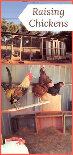 Raising chickens is