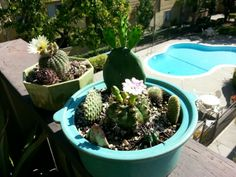Blooming cactus gardens in antique pots