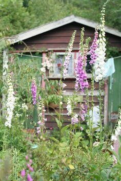 Pink and White Foxglove Flowers